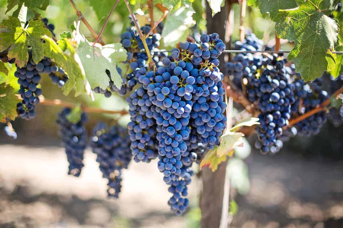 Obrázek vina z portugalska