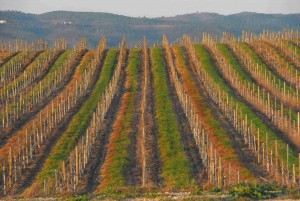 INTER-ROW COVER CROP IN VINEYARD WINTER 2